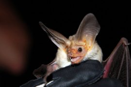 Layton High School bat removal
